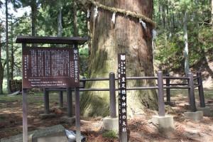飯縄総社の大杉