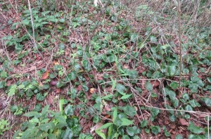 イワカガミ 葉
