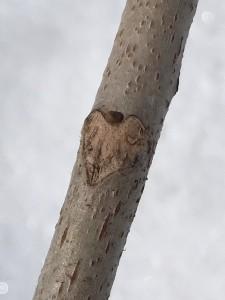 ハート型にみえる葉痕
