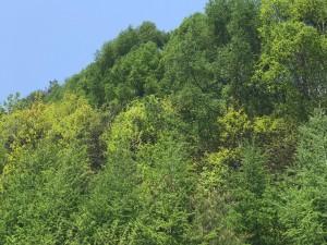 スキー場の新緑