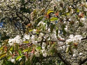小天狗の森駐車場の桜