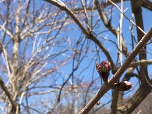 ニワトコの花芽
