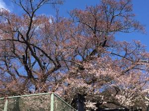 神代桜4.8