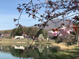 大座法師池の桜