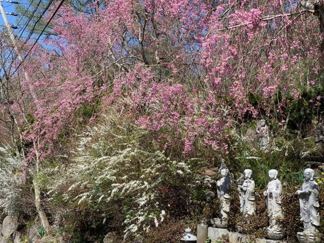 枝垂れ桜とユキヤナギ