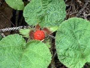 マルバフユイチゴ